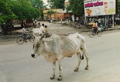 donkey(0.0), pack animal(0.0), horse harness(0.0), horse and buggy(0.0), carriage(0.0), cart(0.0), cattle-like mammal(1.0), vehicle(1.0), ox(1.0), cattle(1.0),