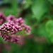 Small photo of A promise of lilacs
