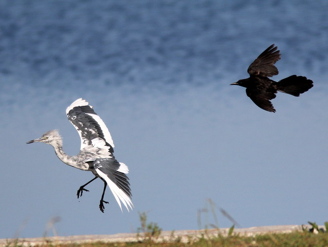 Grackle chasing Little Blue Heron 20110529
