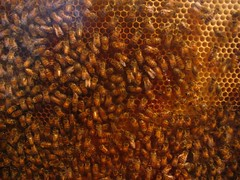 honey bee, honeycomb, brown, invertebrate, membrane-winged insect, close-up, bee,