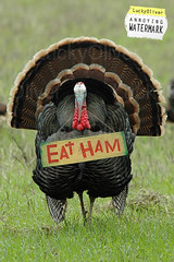 'Eat Ham' Turkey