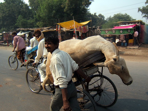 VACHE SUR TRICYCLE - AGRA - INDE