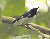 Black-throated Blue Warbler - St Martin - February 2017