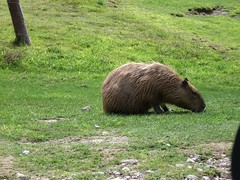 grizzly bear(0.0), bear(0.0), animal(1.0), zoo(1.0), mammal(1.0), fauna(1.0), capybara(1.0), wildlife(1.0),