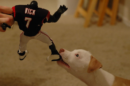 puppy chewing on michael vick toy