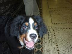 appenzeller sennenhund(0.0), dog breed(1.0), animal(1.0), dog(1.0), pet(1.0), greater swiss mountain dog(1.0), bernese mountain dog(1.0), carnivoran(1.0),