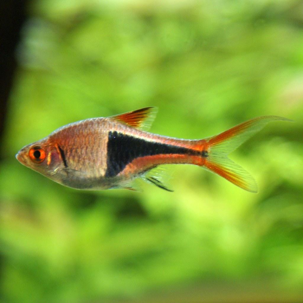 7 easy schooling aquarium fish! | Aquariadise