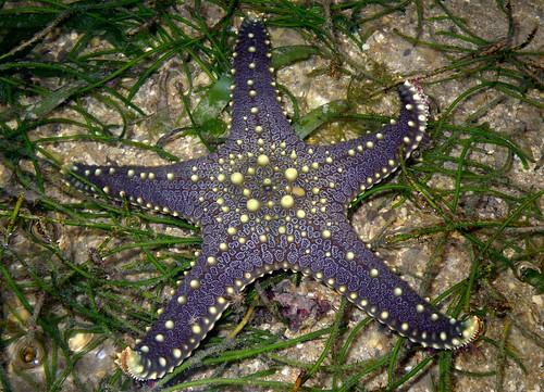Pentaceraster sea star (Pentaceraster mammilatus)
