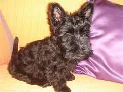 dog breed, animal, dog, schnoodle, pet, vulnerable native breeds, schnauzer, norwich terrier, cairn terrier, miniature schnauzer, carnivoran, scottish terrier, terrier,
