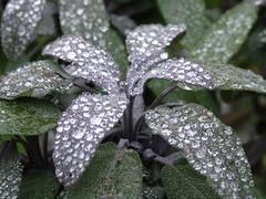 Dew on Sage Leaves 3