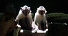 Tibetan Macaque - Photo (c) Mr. Theklan, some rights reserved (CC BY-SA)