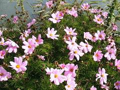 blossom(0.0), marguerite daisy(0.0), annual plant(1.0), flower(1.0), garden cosmos(1.0), plant(1.0), wildflower(1.0), flora(1.0), meadow(1.0), cosmos(1.0), petal(1.0),