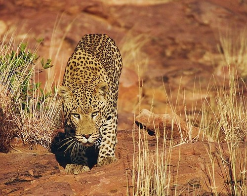 Male Leopard in Damaraland
