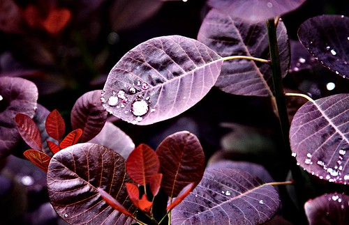 Purple Leaves W/ Dew Drops