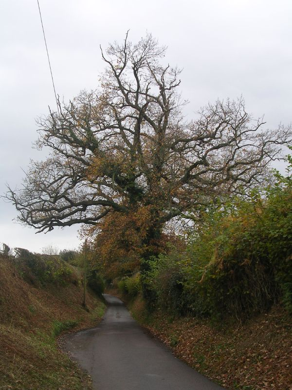 Roadside Tree Wadhurst short circular