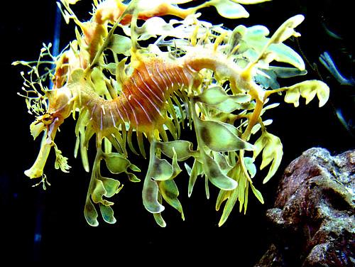tampa aquarium florida fl naturesfinest phycoduruseques aswpix leafyseadragons