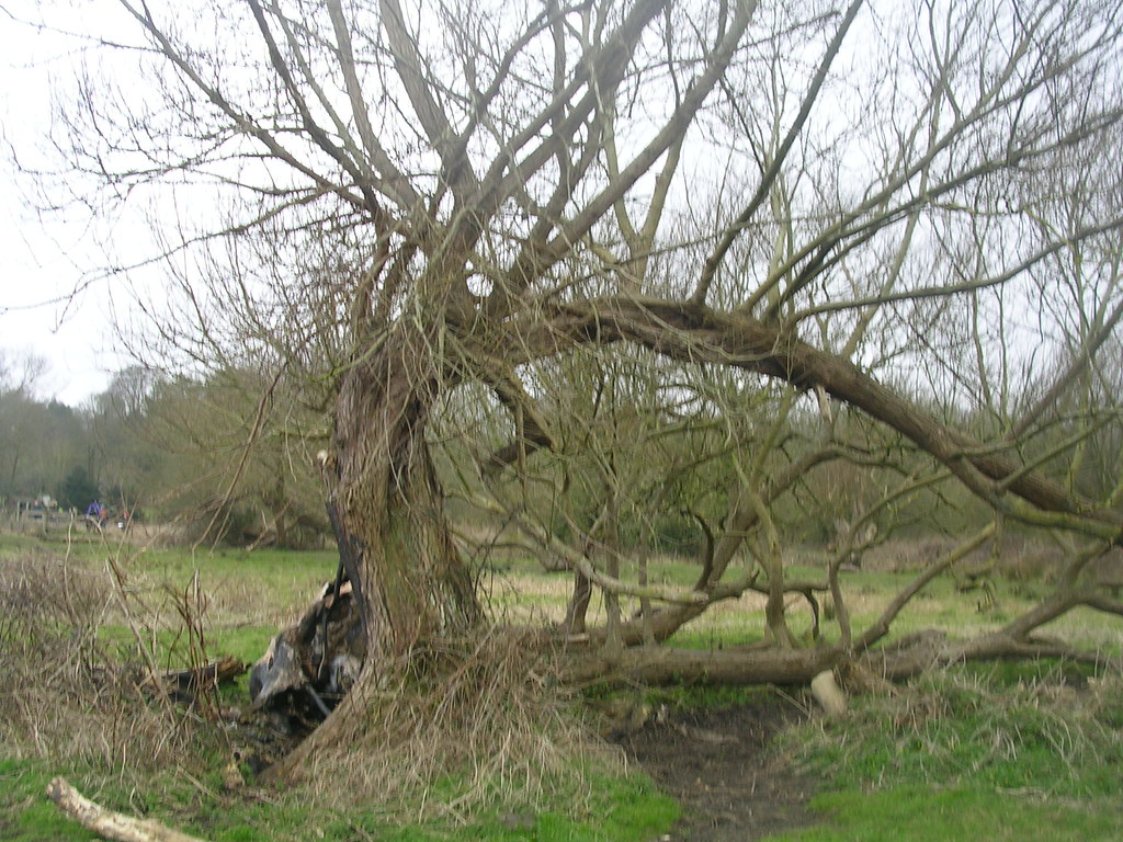 Contorted tree Winchester Circular