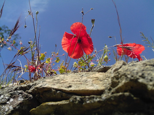 Poppy on the Rocks, with Blue Curaçao