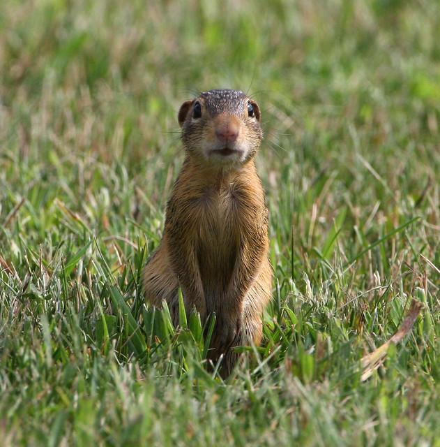 Gopher In Backyard: 13 Lined Ground Squirrel (aka Striped Gopher)