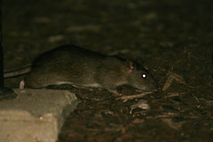 animal, rat, rodent, mouse, fauna, muroidea, whiskers, pest, gerbil, wildlife,
