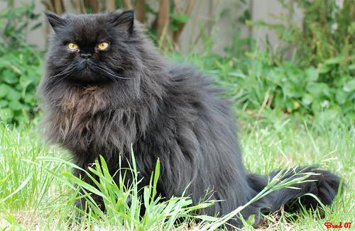 Persian Cat - Sylvester
