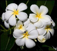 White Frangipani Redcliffe-01+