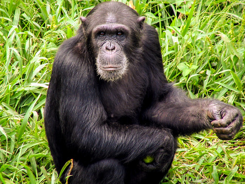 Chimpanzee at Ngamba Island