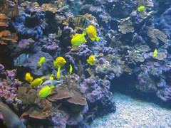 coral reef, coral, coral reef fish, organism, marine biology, aquarium lighting, natural environment, underwater, reef, pomacentridae,