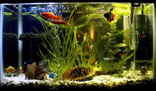 Bettas in a community aquarium my aquarium club for How many gallons is my fish tank