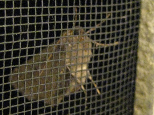 moth, insect, animal, screen, night, macro IMG_1130