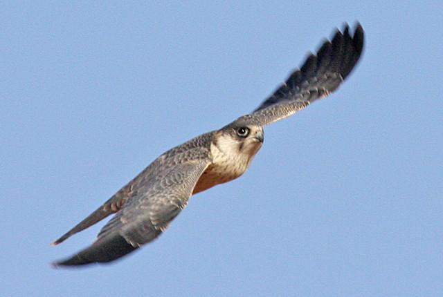 Falconiformes. sub Falconidae - sub fam Falconinae - gênero Falco - Página 2 2099169358_e4acb38521_z