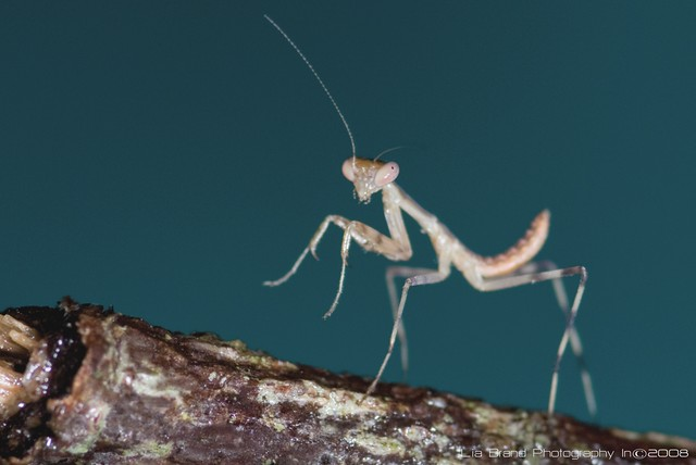 Yippie-aye-aaa,♫ yippie-aye-ooh...♫ a praying mantis nymph went out on a raining and windy day...♫♫
