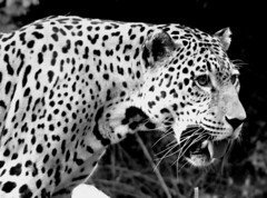 animal(1.0), big cats(1.0), leopard(1.0), mammal(1.0), jaguar(1.0), monochrome photography(1.0), fauna(1.0), close-up(1.0), monochrome(1.0), whiskers(1.0), black-and-white(1.0), wildlife(1.0),