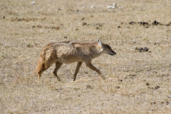 animal, mammal, jackal, fauna, coyote, wildlife,