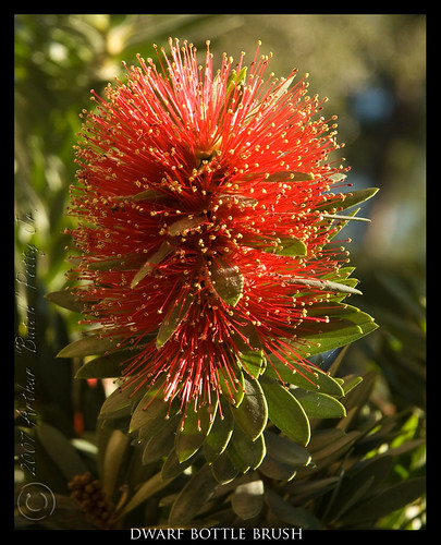 red plants nature georgia landscape photography bush nikon scenery photos photoblog savannah bottlebrush butch savannahga petty d80 nikond80 anawesomeshot butchpetty butchpettyphotographycom butchsphotoblog dwarfbottlebrush hummungbirdfriendly