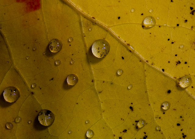 Birch Leaf with Water Droplets