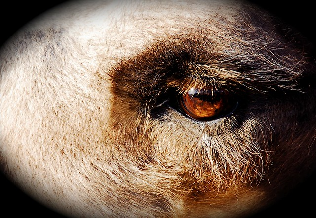 Camel eyelash | Flickr - Photo Sharing!