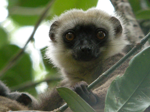 Madagascar, White-headed Lemur
