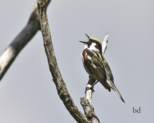 Chestnut-Sided Warbler - Singing his heart out. by barbdpics