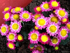 dorotheanthus bellidiformis(0.0), floristry(0.0), chrysanths(0.0), annual plant(1.0), flower(1.0), yellow(1.0), plant(1.0), daisy(1.0), flora(1.0), petal(1.0),