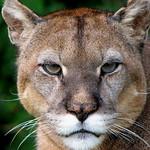 Puma chileno