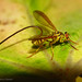 Papaya Fruit Fly - Photo (c) Marco Gaiani, some rights reserved (CC BY-NC-SA)