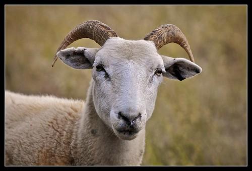 Ram, Mudgee