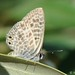 Lang's Short-tailed Blue - Photo (c) Valter Jacinto | Portugal, some rights reserved (CC BY-NC-SA)