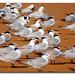 Small photo of Royal Terns