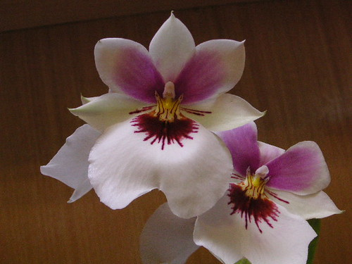 Miltoniopsis Unknown