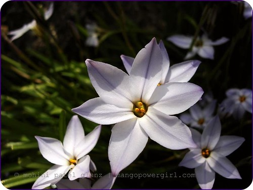 Ipheion Uniflora ~ Spring Star Flowers