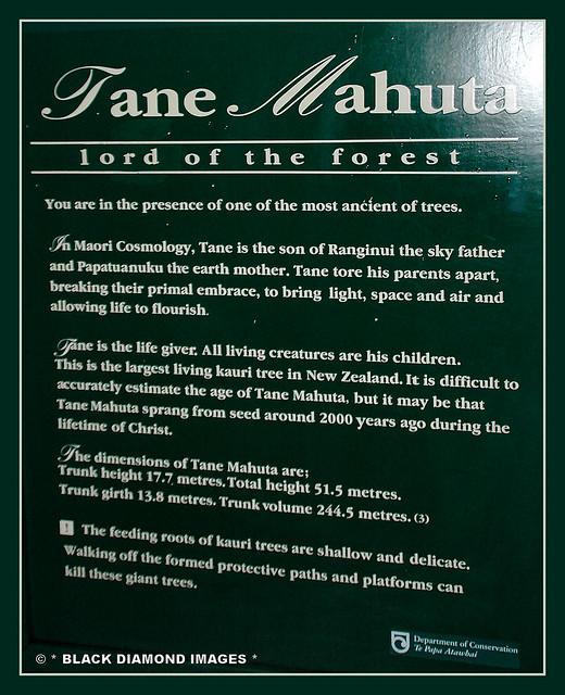 Agathis australis - Tane Mahuta - Waipoua Forest,North Island NZ