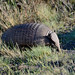 Hairy Armadillo, Torres Del Paine