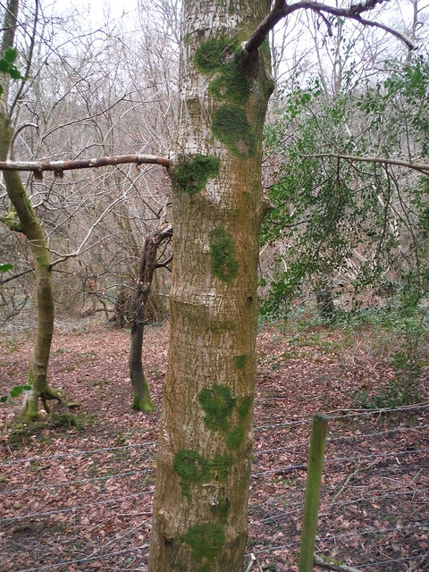 Tree in Coombswell Copse